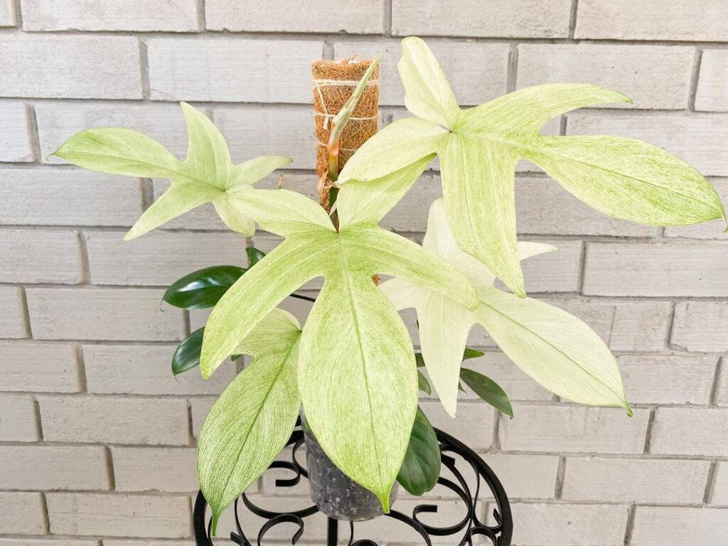 Philodendron Florida Ghost