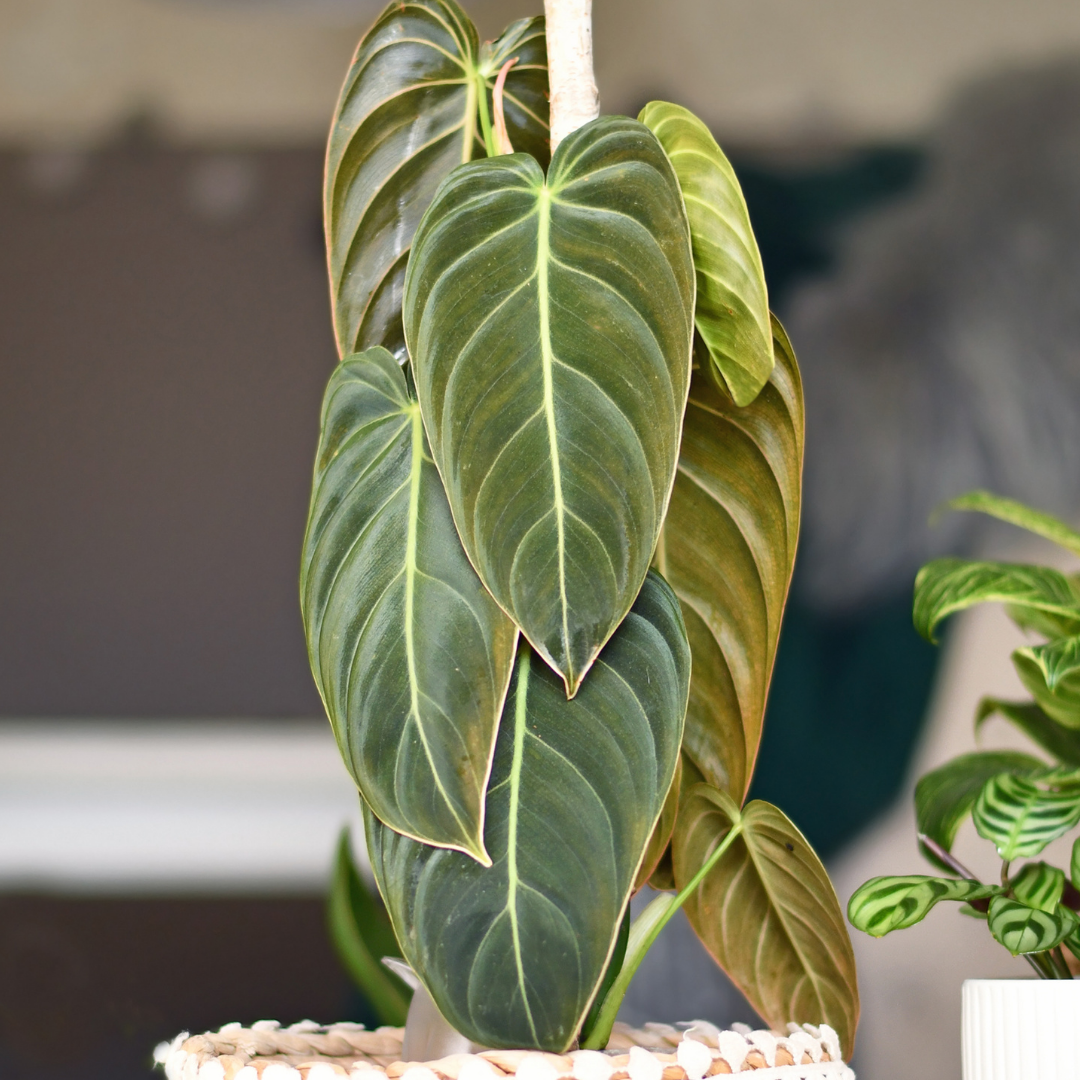 Philodendron Melanochrysum Care